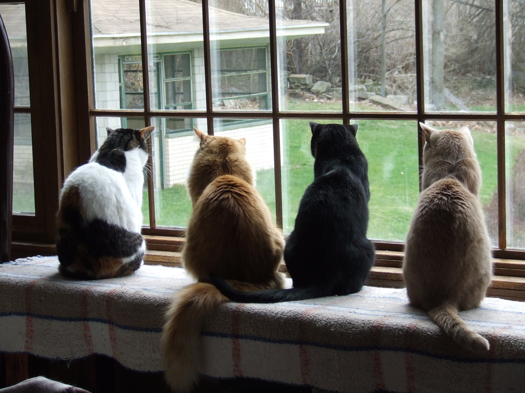 CatCentric kitties Meghan, Allen, Spencer, and Ralph watching a squirrel in the yard.