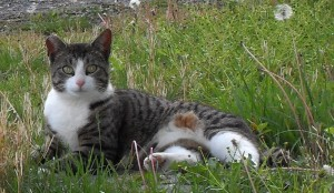 A healthy feral from a well-managed feral cat colony.
