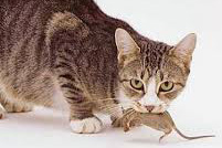 Cat with mouse in mouth, cropped
